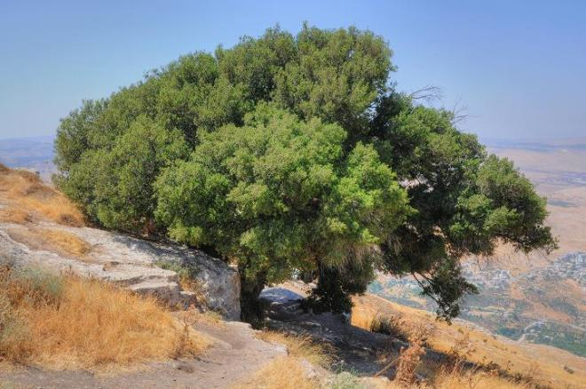 elon moreh (possibly the oak where abram built his altar_), biblewalks