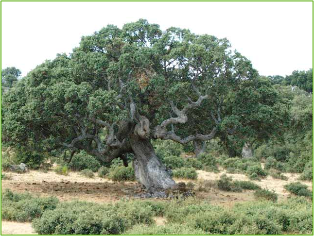 oak of mamre