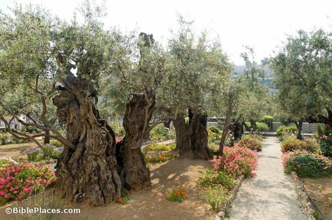 Garden of Gethsemane olive trees, bibleplaces